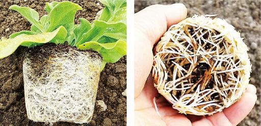 フルボ酸の効果で根が発育した様子