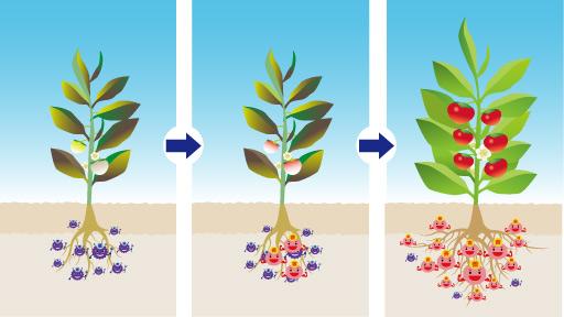 有用微生物の作用で土壌内の善玉菌が増えるイメージ