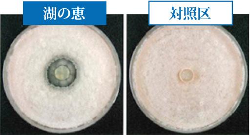 バチルス菌が病原菌を抑制している比較写真