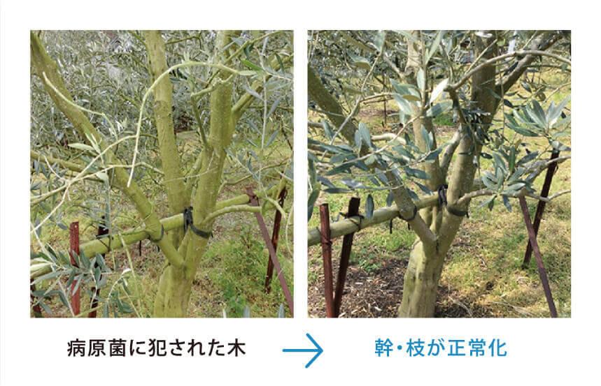 幹枝が正常化